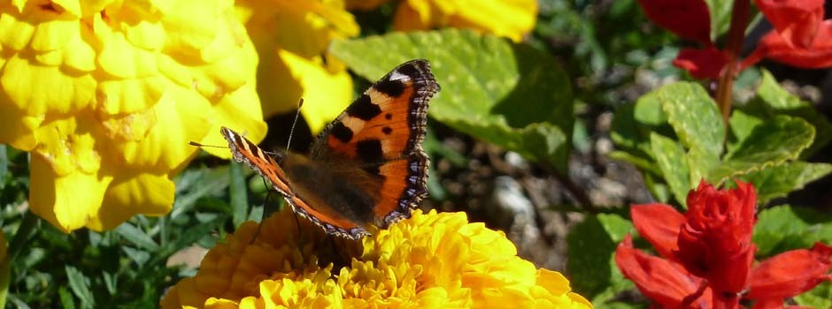 close up of a red admiral butterfly on a yellow french marigold
