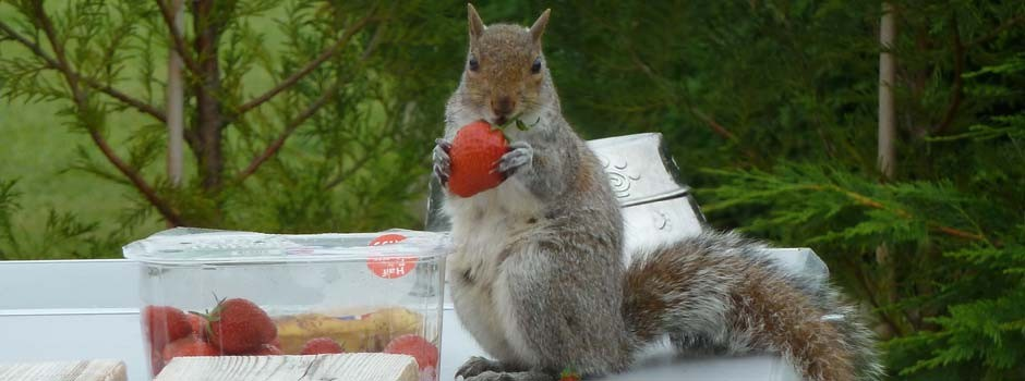 close up of a squirrel holding a strawberry it's taken from a punnet
