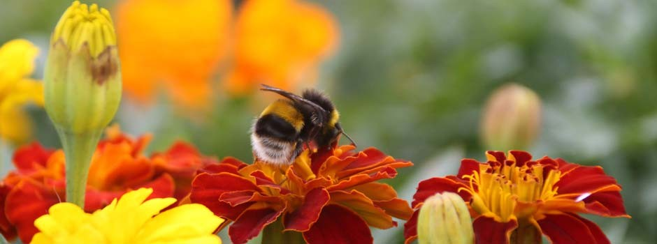 close up of bee on french marigold