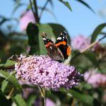 David Bellamy butterfly bar